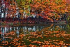 De mooie scharlaken, gele, oranje bomen bij de rivierkust wijzen in het water op waar de bladeren drijven Stock Afbeeldingen