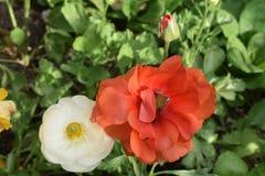 De mooie sinaasappel en wit nam met de knop van de babybloem toe Royalty-vrije Stock Foto
