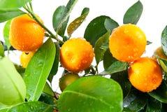 De mooie sinaasappel groeit op de boom Stock Afbeelding