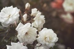 De mooie struik bloeit witte tuinrozen in het zonlicht op een donkere achtergrond voor de kalender Royalty-vrije Stock Fotografie