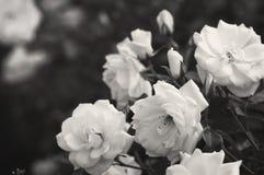 De mooie struik bloeit witte tuinrozen in het zonlicht op een donkere achtergrond voor de kalender Stock Afbeelding