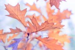 De mooie tak met oranje en gele eiken bladeren in de recente herfst of de vroege winter, ochtendvorst, schrijft onscherpe romanti Royalty-vrije Stock Fotografie