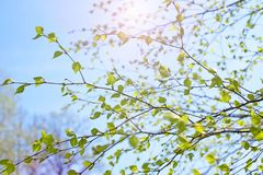 De mooie tak van de berkboom met groene bladeren in de hemel stock foto