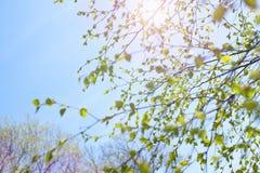 De mooie tak van de berkboom met groene bladeren in de hemel stock foto's