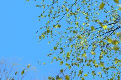 De mooie tak van de berkboom met groene bladeren in de hemel stock fotografie