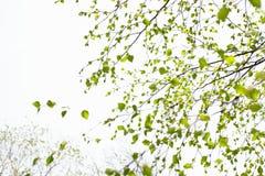 De mooie tak van de berkboom met groene bladeren in de hemel royalty-vrije stock foto