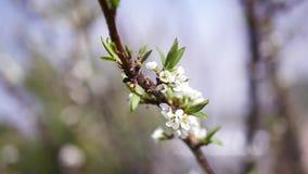 De mooie tak van de appelboom met bloeiende witte bloemen Slowmotion HD 1920x1080 stock video