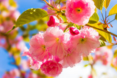 De mooie tak van Kersenbloesems Velen gevoelige roze kers Blos Stock Foto