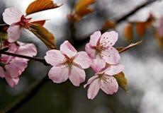 De mooie takken van de kersenbloesem stock foto