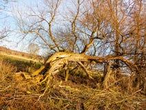 De mooie torenhoge omhooggaande de schorsboomstammen van de herfst naakte bomen vertakt zich fal Stock Afbeelding
