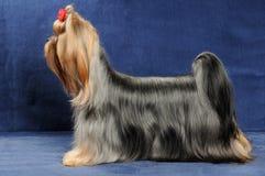 De tribunes van Yorkshire Terrier op blauwe achtergrond Royalty-vrije Stock Afbeeldingen