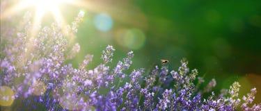 De mooie tuin van Art Summer met lavendelbloemen stock foto's