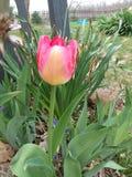 De mooie tulp in de lente stock fotografie