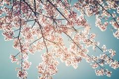 De mooie uitstekende bloem van de boomsakura van de kersenbloesem in de lente op blauwe hemelachtergrond Stock Afbeeldingen