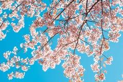 De mooie uitstekende bloesem van de de bloemkers van de sakuraboom in de lente op blauwe hemelachtergrond Stock Afbeeldingen