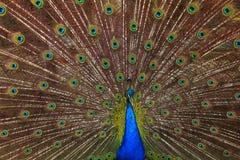De mooie veren toont Royalty-vrije Stock Foto