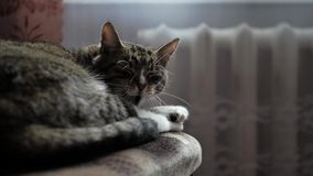 De mooie vermoeide de kattengeeuwen van de huisgestreepte kat, wil slapen stock footage