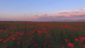 De mooie video van hommelsatellietbeeld boven de lentegebied van tulp en papaver bloeit stock videobeelden