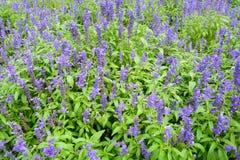De mooie violette bloem van de de lentetuin Royalty-vrije Stock Afbeelding