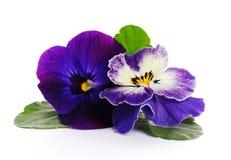 De mooie viooltjes sluiten omhoog Royalty-vrije Stock Afbeeldingen