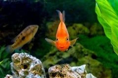 De mooie vissen van de aquarium decoratieve oranje papegaai Stock Foto