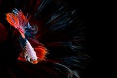 De mooie vissen van halvemaanbetta Vang het bewegende ogenblik mooi van bettavissen van Siam in Thailand op zwarte achtergrond stock fotografie