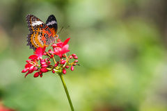 De mooie Vlinder van het Luipaardkant (Cethosia cyane) zuigt nectar van rode bloem stock foto