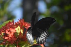 De mooie Vlinder van Pipevine Swallowtail op Rode Bloemen stock afbeeldingen