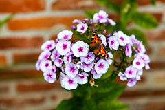 De mooie vlinderzitting op de witte flox Stock Afbeelding