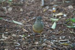 De mooie vogel die in het bos lopen het zoekt voedsel royalty-vrije stock afbeelding