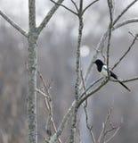 De mooie vogel die van Pega van de picapica op een boomtak bij de winter situeren royalty-vrije stock fotografie
