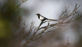 De mooie vogel die van Pega van de picapica op een boomtak bij de winter situeren stock afbeeldingen