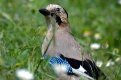 De mooie vogel van de Vlaamse gaai Stock Foto's
