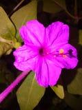 De mooie wilde bloem van Sri Lanka Royalty-vrije Stock Fotografie