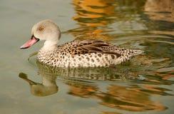 De mooie wilde eend drijft op een vijver royalty-vrije stock afbeeldingen