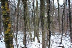 De mooie Winter Forest Landscape, mos-Behandelde Bomen, Dunne Takken, Struikgewas stock afbeelding