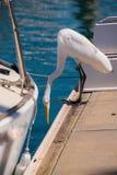 De mooie witte aigrette op de rand van een dok in een jachthaven dichtbij een boot met het is uitgebreid en hals die neer eruit z stock foto's