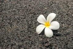 De mooie witte bloem op de weg Royalty-vrije Stock Afbeeldingen
