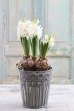De mooie Witte Bloem van de Hyacint Royalty-vrije Stock Afbeeldingen