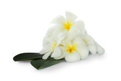 De mooie witte bloem van hiteplumeria over groene bladeren op witte achtergrond Royalty-vrije Stock Afbeelding
