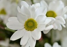 De mooie witte bloem van de nevelchrysant, macro Royalty-vrije Stock Afbeelding