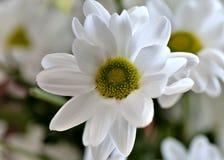 De mooie witte bloem van de nevelchrysant, macro Stock Foto