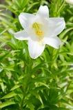 De mooie Witte bloemen van de Lelie Royalty-vrije Stock Afbeeldingen