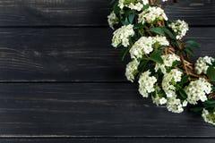 De mooie witte het bloeien Spirea argutabruiden planten in een kroon op houten lijst Vlak leg, hoogste mening royalty-vrije stock foto