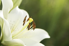 De mooie witte lelies kwamen - van groene achtergrond tot bloei Stock Foto's