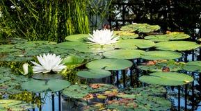 De mooie witte lotusbloembloemen of de waterlelies in de vijver ea royalty-vrije stock afbeeldingen