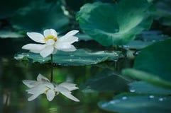 De mooie witte lotusebloem met groen verlof op meer, past aan Royalty-vrije Stock Afbeeldingen