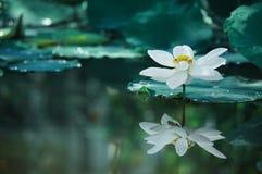 De mooie witte lotusebloem met groen verlof op meer, past aan Royalty-vrije Stock Foto