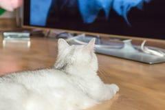 De mooie witte pluizige Britse kat met groene ogen ligt op de parketvloer en let op een grote TV Royalty-vrije Stock Fotografie