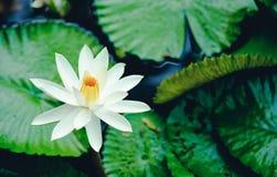 De mooie witte van de lotusbloembloem of waterlelie bezinning met t Stock Afbeelding